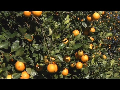 Florida citrus industry under attack from disease [News]