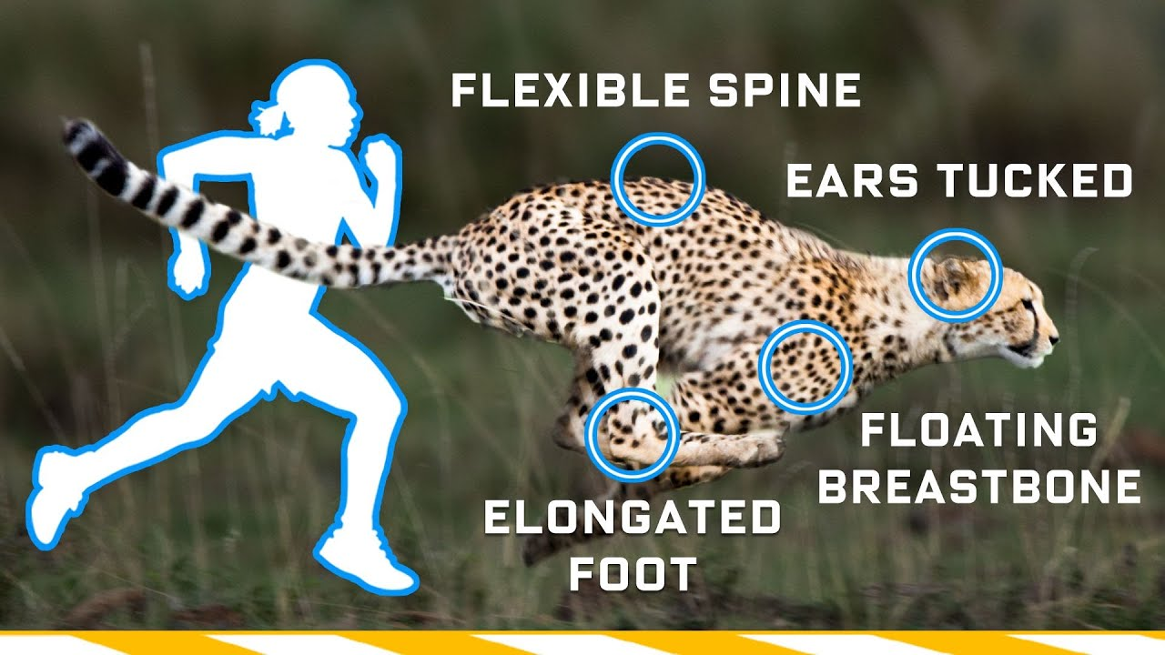 Why Humans Can't Run Cheetah Speeds (70mph) and How We Could | WIRED