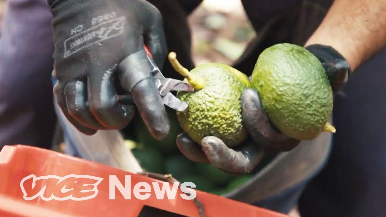 Defending Avocado Farms From Drug Cartels
