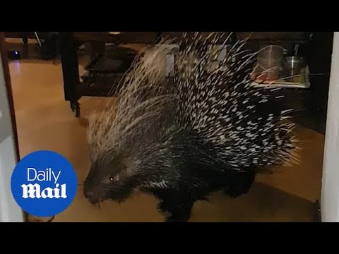 Moment man discovers giant porcupine standing in his kitchen