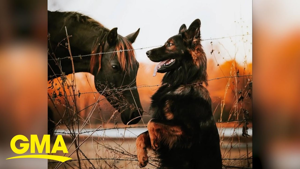 German Shepherd and horse pose for adorable photo shoot